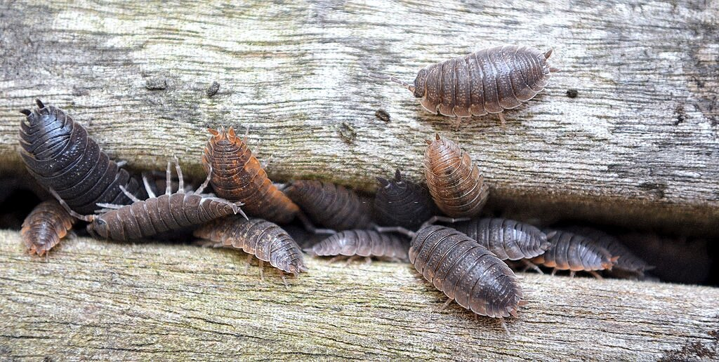 Woodlice in Home